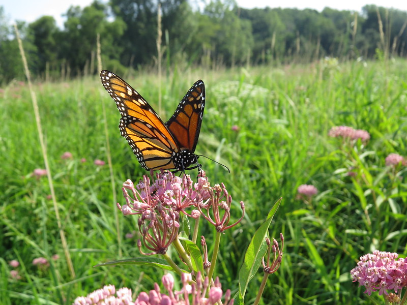 IMAGE: https://ohiohick.smugmug.com/Animals/Insects/Butterflies-and-Moth/i-3t75Qrh/0/L/2015_08%20%2820%29-L.jpg