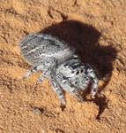 Jumping Spider, genus Phidippus